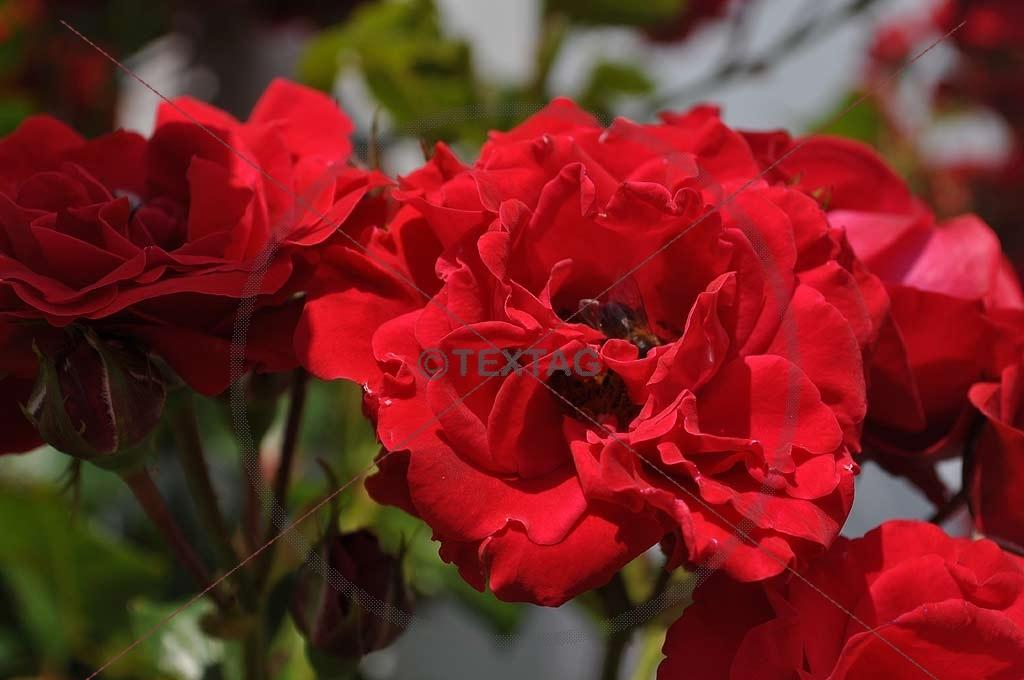 ein strau roter rosen die ber und ber mit wassertropfen. Black Bedroom Furniture Sets. Home Design Ideas