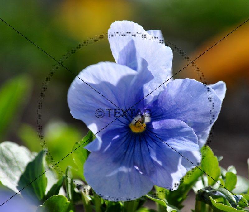 blaues Stiefmütterchen (02) W-DSC_0235