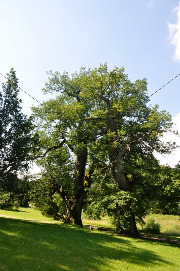 Alte Bäume Kaufen
